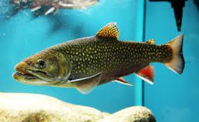 brook trout wikipedia