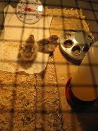 brooder box backyard chickens