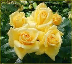 imagenes flores relajantes pin de glenda sexton en flower roses pinterest