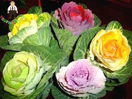 100pcs flower vegetable aquilegia seeds bonsai flowering ornamental