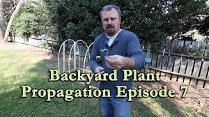 backyard plant propagation episode 7 how to root woody shrub