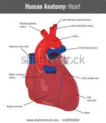 Gross Anatomy Of The Human Heart Human Heart Muscle Structure Anatomy Infographic Stock Vector