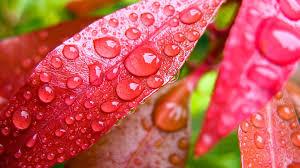 flowers rain drops fairy pink bush water nature flower leaf plant