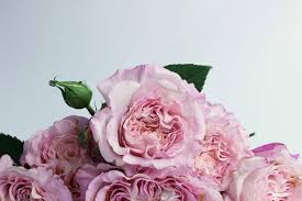 Fragrant Rose Plants Augusta Louise Rose Is The Best Garden Rose The Smell Of Roses
