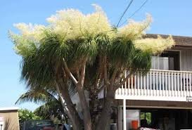 ponytail palm how to care for the ponytail plant