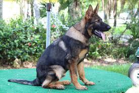 australian shepherd x corgi vs west german shepherd x czech dog by petrichore dogs pinterest