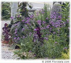Verbena Flower Verbena Bonariensis