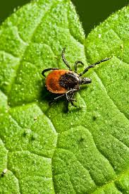 Ticks In Backyard Tick Diseases In Greenville Greenville Tick U0026 Mosquito Control