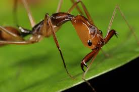 trap jaw ant from peru what u0027s that bug