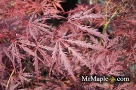 buy acer palmatum dissectum tamukeyama weeping japanese