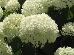 hydrangeas flowers hydrangea perennials summer blooms flowers snowballs