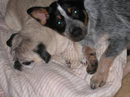 australian shepherd kidney disease australian cattle dogs australian cattle dog breed info