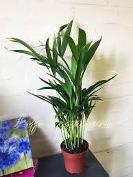 1 x areca palm plant in pot indoor garden office evergreen