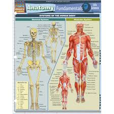 Anatomy And Physiology Human Body Science Anatomy Charts Posters Nasco