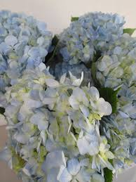 Bulk Hydrangeas Eugene Wholesale Flowers
