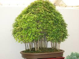 i like the cluster of tiny trees beautiful bonsai plants and