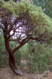 manzanita tree by the road photograph by deal