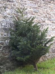 hgtv u0027s tips on how to buy and recycle an evergreen christmas tree