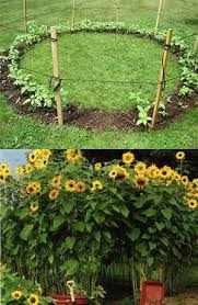 plant a ring of sunflowers to make a sunflower house I will be