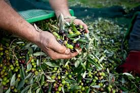 the ultimate list of olive oil conversions u0026 calculations