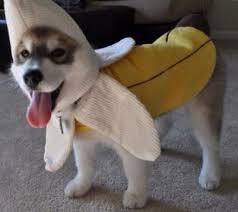 Halloween Costumes Husky Dog 17 Costumes Prove Huskies Win Halloween