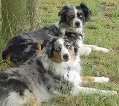 australian shepherd club qld about the australian shepherd