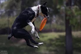 australian shepherd frisbee k9 disc thrills home
