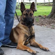 belgian malinois names view topic 1x1 w shadow and waggy chicken smoothie