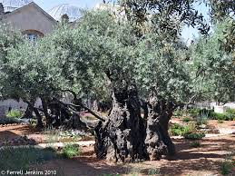 the olive tree ferrell u0027s travel blog