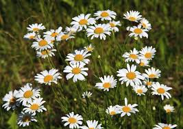 tips on dividing shasta daisy plants u2013 when and how to divide