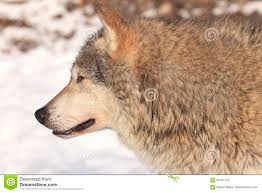 timber wolf side portrait stock photo image of timber 84197754