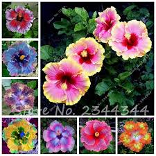 Cheap Flower Seeds - online get cheap chinese hibiscus plant aliexpress com alibaba