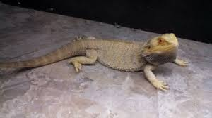 bearded dragons sale petreptiles org