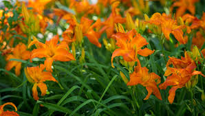 day lilies daylilies archives p allen smith