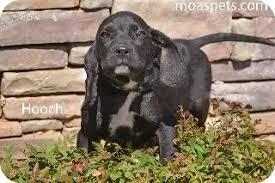 bluetick coonhound rescue georgia hooch adopted puppy m13220 danielsville ga bloodhound
