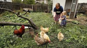 Backyard Chickens Magazine Backyard Chicken Trend Causes Spike In Infections 1 Fatal