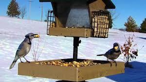 wild bird house finch chickadee blue jay u0026 flicker backyard