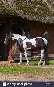 american paint horse stock photos u0026 american paint horse stock