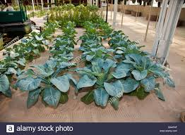 Hydroponics Vegetable Gardening by Hydroponics Lab Stock Photos U0026 Hydroponics Lab Stock Images Alamy