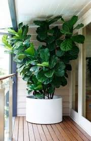 biggest house plants considering the fiddle leaf fig tree spaces plants and gardens