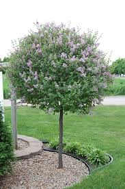grafted lilac tree 8 sun requires pruning