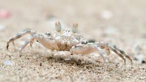 do crabs lay eggs reference com