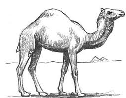 how to draw camels drawing tutorials u0026 drawing u0026 how to draw