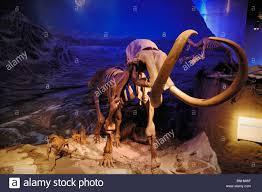 wooly mammoth stock photos u0026 wooly mammoth stock images alamy