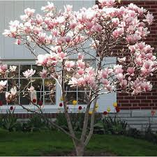 small magnolia tree gardening guide