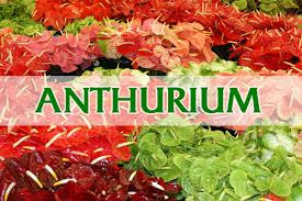 green point nurseries inc anthurium orchids tropical flowers