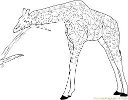 Giraffe Coloring Pages Giraffe Coloring Pages Printable Coloring Pages Of Giraffes by Giraffe Coloring Pages