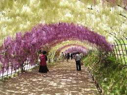 japan flower tunnel cool places to see flowers the wisteria tunnel in japan grower