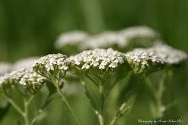 native prairie plants illinois white yarrow
