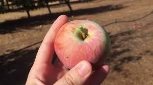 celebrating the harvest season apple picking in julian youtube